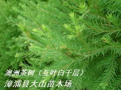 澳洲茶树原料 提取精油纯露