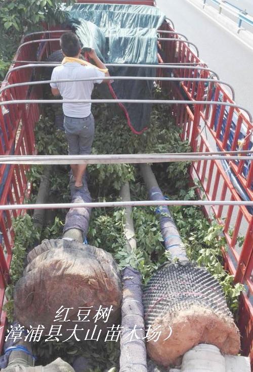 紅豆樹鄂西紅豆 3