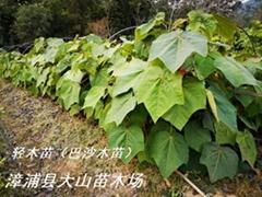 輕木樹(世界上生長最快)