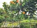 無憂花佛祖樹