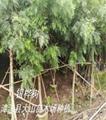 銀樺樹移植苗(布袋苗)