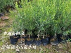 澳洲茶樹互葉白千層