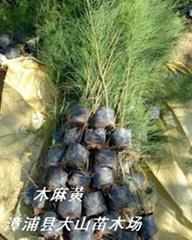 木麻黃造林苗