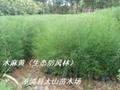 木麻黄苗   生态造林苗 4