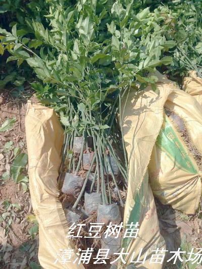 鄂西紅豆樹苗
