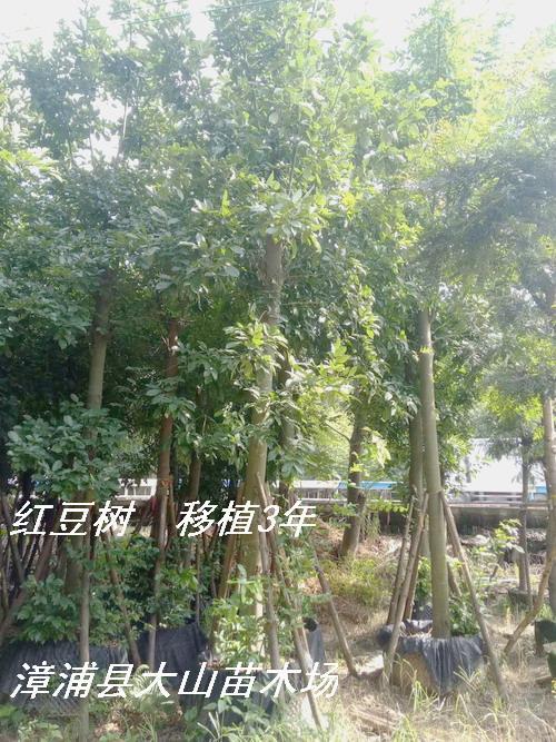 紅豆樹 鄂西紅豆樹 花櫚木 5