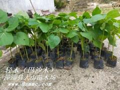 巴沙木輕木樹世界上生長最快Balsa