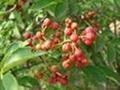 山東大紅袍花椒苗無刺花椒苗品種