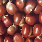泰山板栗苗糖炒栗子的好貨源紅光滿面的泰山板栗苗