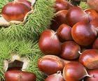 泰山板栗苗糖炒栗子的好貨源紅光滿面的泰山板栗苗 3
