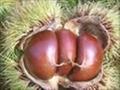 泰山板栗苗糖炒栗子的好貨源紅光滿面的泰山板栗苗 4