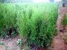 側柏苗營養缽側柏苗3米側柏苗15釐米大柏樹 2