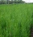 側柏苗營養缽側柏苗3米側柏苗15釐米大柏樹 3