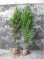 側柏苗營養缽側柏苗3米側柏苗15釐米大柏樹 5