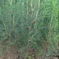 側柏苗營養缽側柏苗3米側柏苗15釐米大柏樹 4
