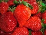 大棚種植章姬草莓苗