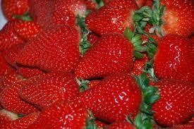 大棚種植章姬草莓苗9月份開始妙香7號草莓苗出售 2