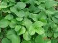 大棚種植章姬草莓苗9月份開始妙香7號草莓苗出售 4