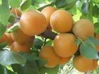 金太陽杏山東有個開源杏號稱天下  果