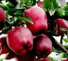 红富士苹果苗水蜜桃苹果苗粉红女士苹果苗