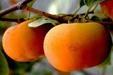 新津20甜柿子苗國產的陽豐柿子