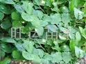 紅顏草莓苗章姬草莓苗白草莓苗豐香草莓苗 1