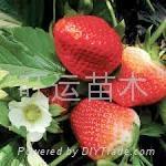 紅顏草莓苗章姬草莓苗白草莓苗豐香草莓苗 2