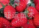 紅顏草莓苗章姬草莓苗白草莓苗豐香草莓苗 3