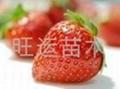 紅顏草莓苗章姬草莓苗白草莓苗豐香草莓苗 4