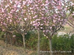 重瓣大紅櫻花苗種植櫻花苗基地出售品種櫻花苗