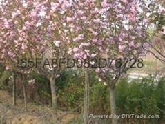 重瓣大红樱花苗种植樱花苗基地出售品种樱花苗