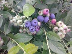t蓝莓苗品种兔眼蓝莓苗