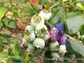 藍莓苗新品種萊格西抗寒的綠寶石