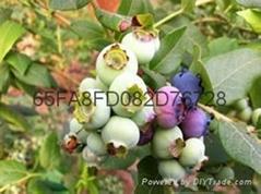 蓝莓苗新品种莱格西抗寒的绿宝石蓝莓苗追雪蓝莓苗