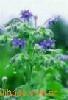琉璃苣油 1