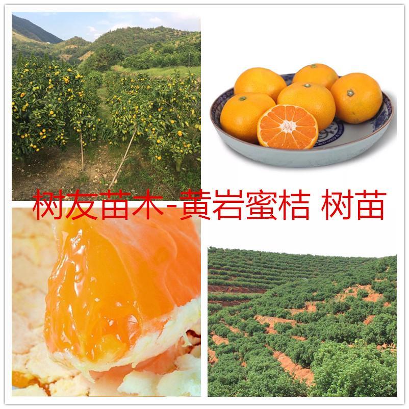 橘子樹 1