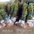 枇杷樹苗 1