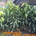 桔子樹 1