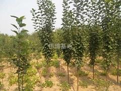 八稜海棠樹價格