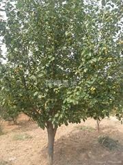 綠化八稜海棠樹