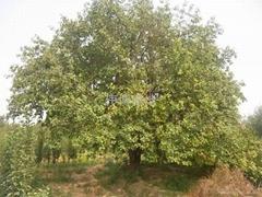 八稜海棠樹基地