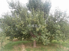 八稜海棠樹