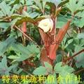 红秋葵种子价格