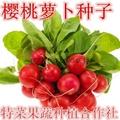 樱桃萝卜种子价格