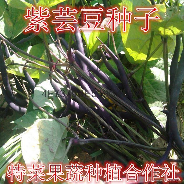 紫芸豆种子价格 1
