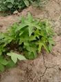 金花葵种子价格