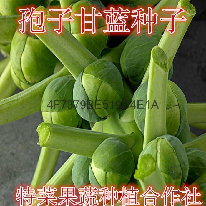 孢子甘蓝种子价格 1