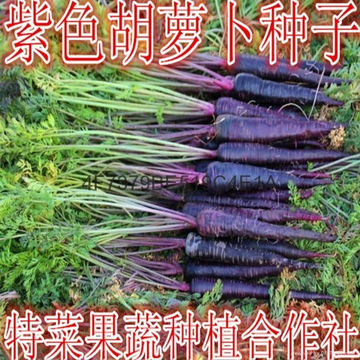 紫胡萝卜种子价格 1