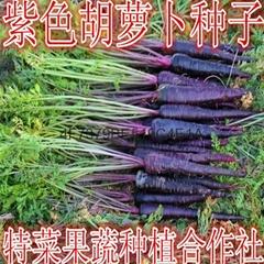 紫胡蘿蔔種子價格