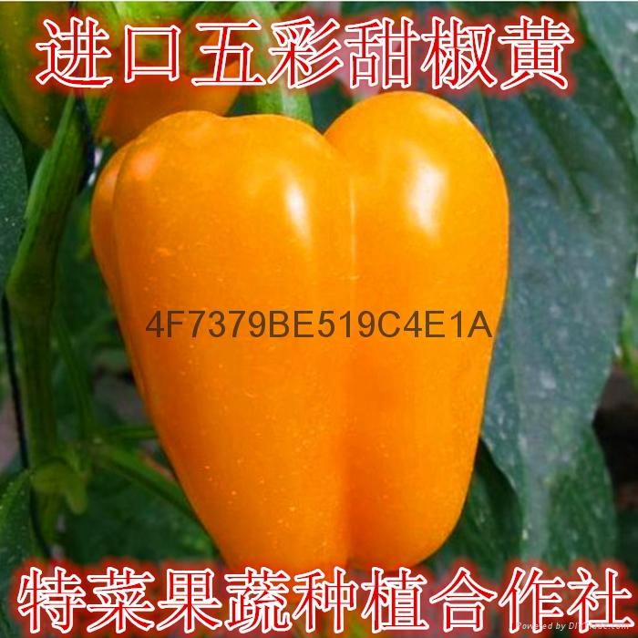五彩甜椒种子价格 1